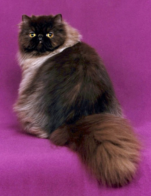 A Chocolate Persian.