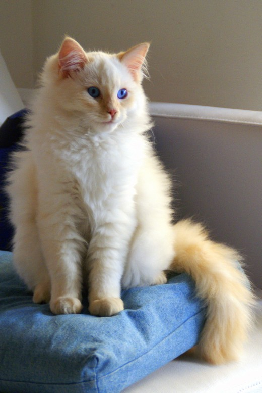 A flame-point Ragdoll.