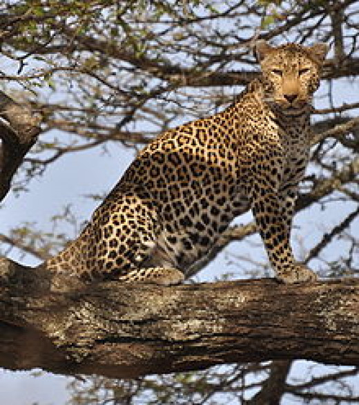 A leopard in his favourite place - on a branch high up in a tree
