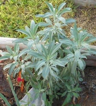 This is a sage plant I started from one seed.  It grew to over 4 feet tall and 3 feet wide.