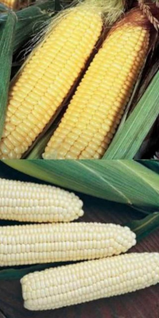 White and yellow mealies - the most important grain crop produced in SA