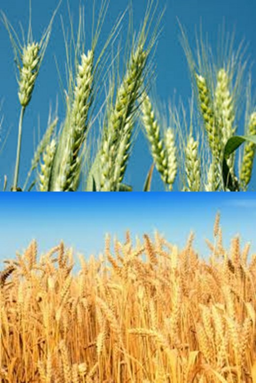 Corn (wheat) - the second most important grain crop produced in South Africa