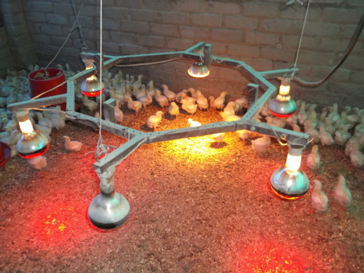Red Heater lights for one day old chicks