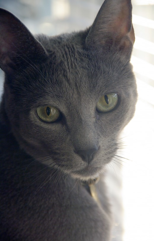 A male Russian Blue cat.