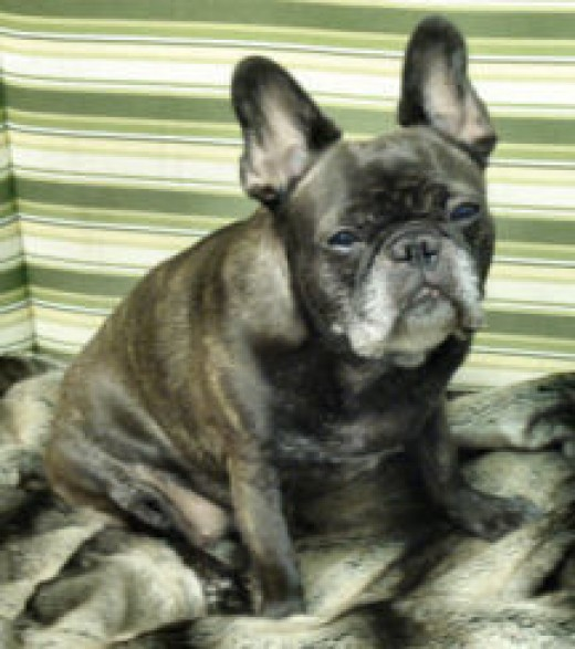 Dax, my brindle French Bulldog