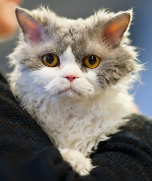 A longhaired Selkirk Rex.