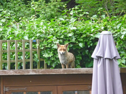 Foxes have adapted to living in towns and cities and can often be seen late at night or on early mornings.