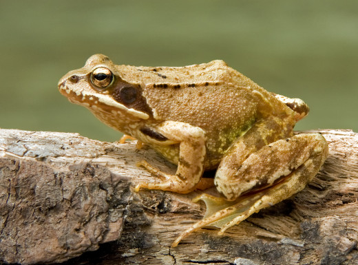 Commons frogs can be seen in the ponds, river and gardens of towns and cities.