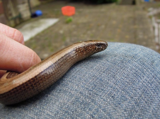 Slow worms are shy but you may be lucky enough to catch a glimpse of one of these beautiful creatures in undisturbed areas.