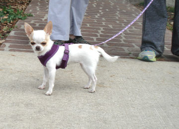 Chihuahua Melody is just 2.5 lbs.