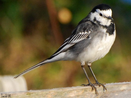 The sweet little pied wagtail has a loud voice and is a common visitor to British gardens.