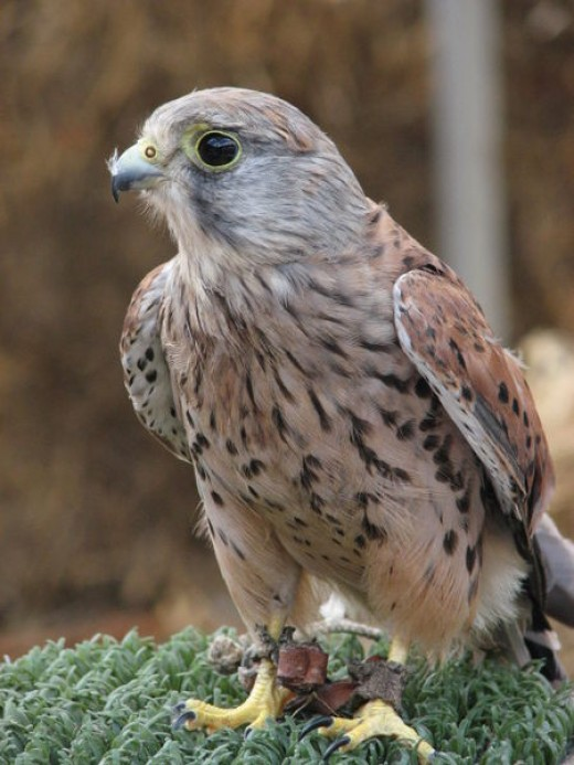 Look out for kestrels hoovering over motorways, busy roads and railway lines.