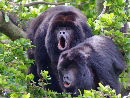 Black Howler Monkeys at the Community Baboon Sanctuary in Belize