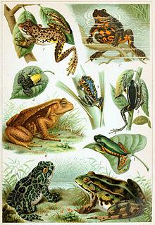 Saddle-billed stork food - various frogs