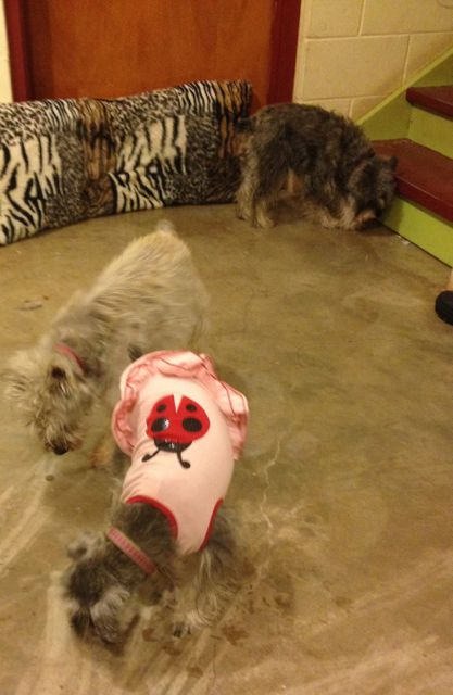 Clockwise Whizzer, SueSue and Ladybug... my three Miniature Schnauzers, enjoying a doggie cookie