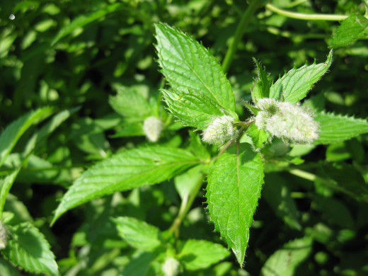Peppermint is a delicious addition to many homemade herbal teas.