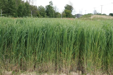 Switchgrass produced for biofuel
