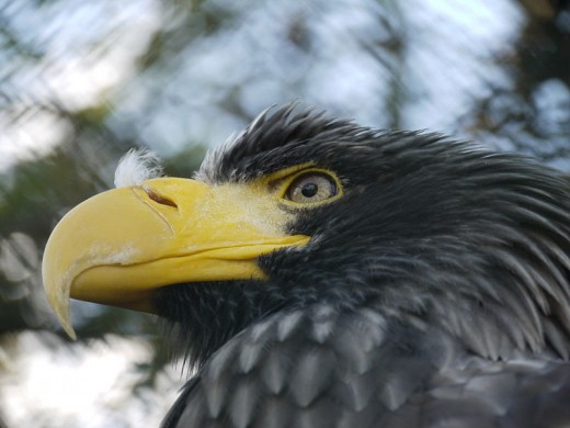 All Eagles have heavy heads and powerful beaks