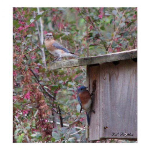 Male and Female Eastern Bluebirds picking out a nest box.