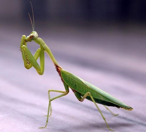 Adult mantis.