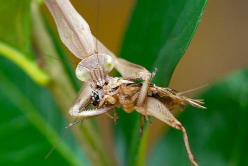 Mantis eating.