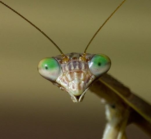 Close up of Mantis face.