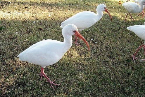 This was the first time I'd ever seen an ibis. What a strange looking bird.