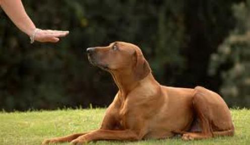 The moment your dog shows interest in interacting with you, that's a sure sign that you can now start training him.