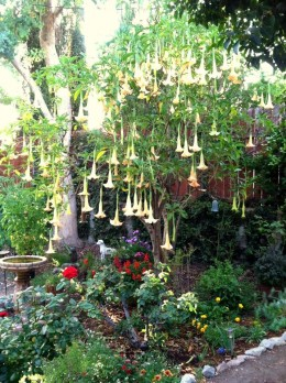 """A small tree can be a nice focal point in a large garden bed. Here a blooming Brugmansia (""""Angel's Trumpet"""") is an eye-catching centerpiece."""