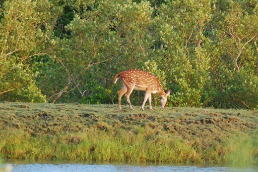 Deer in Sunderbans