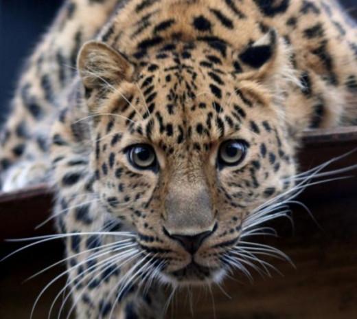 Deep in the eyes of a jaguar