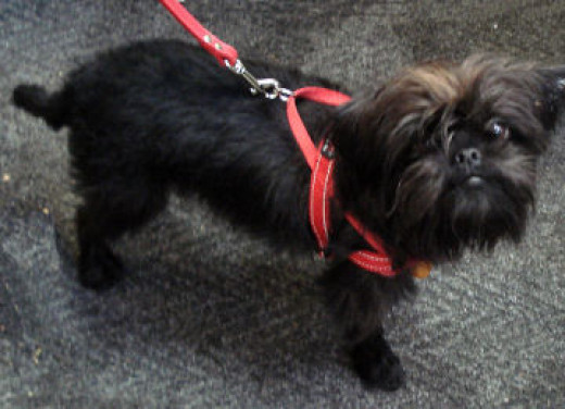 Mojo the Affenpinscher