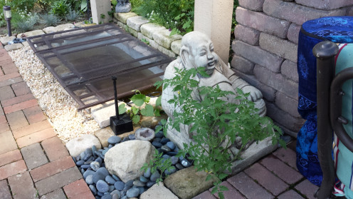 This tomato plant decided to grow alongside this Buddha statue in my friend's Zen Garden.