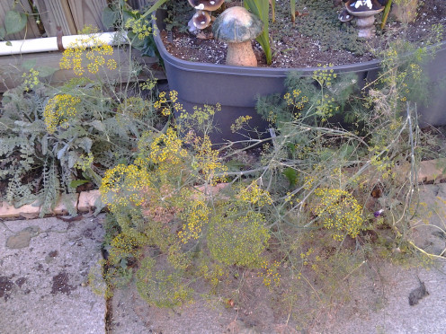 Dill plant flourishing in cracks in patio concrete and under bricks.