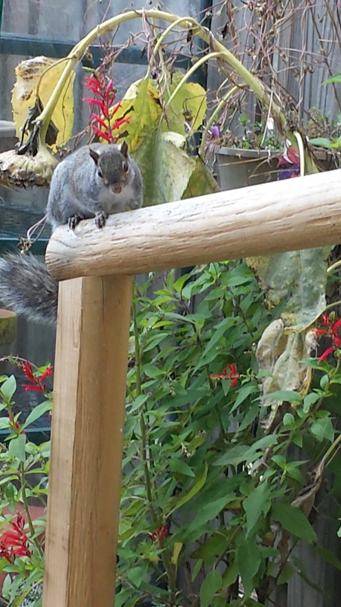 This is a little squirrel that frequently visits my patio. He even looks in through the patio glass door.