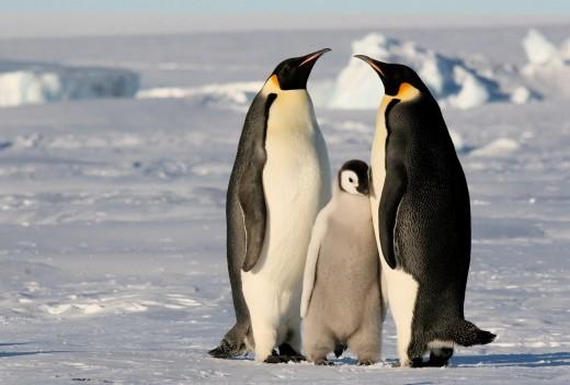 penguinistics.blogspot.com /  Emperor Penguin family