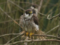 The Hobby { Birds of Europe}