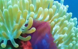 Delicate sea anemones