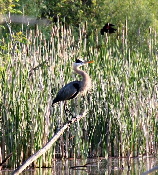 Great Blue Heron Under Attack