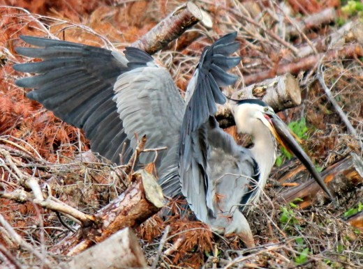 Great Blue Heron Eating