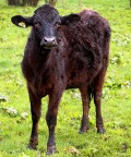 """Matrix the Bull and the """"Woolly Calf"""" Cattle Mutation"""
