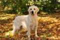 The Truth About English Cream Golden Retrievers