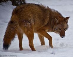 Meet the Coy- Wolf !