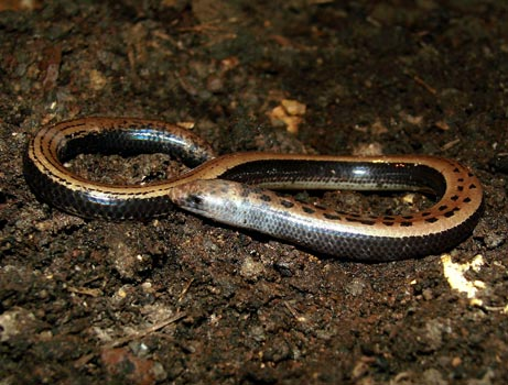 Limbless lizard found in India      Source: National Geographics