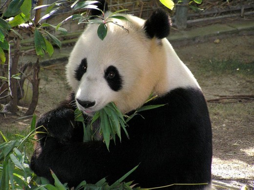 The San Diego Zoo Panda