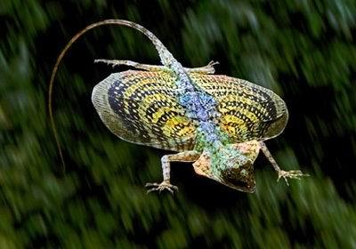 Flying Dragon Lizard   Source: Flickr