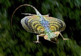 Flying Dragon Lizard   Source: Flickr