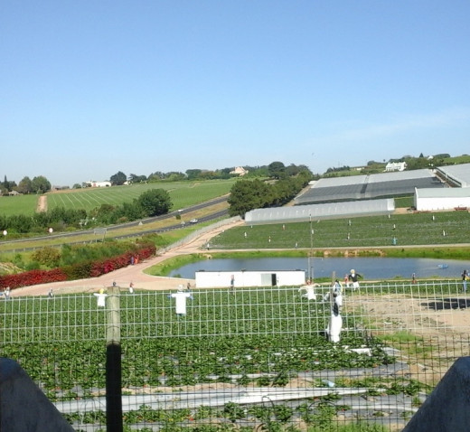 Strawberry farms, Stellenbosch, South Africa