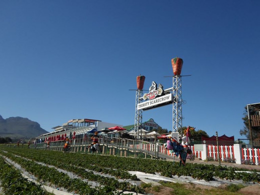 Strawberry farms, Stellenbosch, South Africa