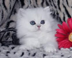 Advice on how to find a teacup Persian or Munchkin kitten?